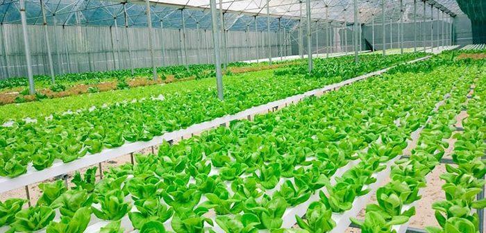 Hướng dẫn cách làm nhà lưới trồng rau thủy canh hiệu quả