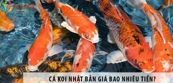 Cá koi Nhật bao nhiêu tiền? Giá cá koi phụ thuộc yếu tố nào?