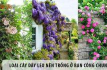 Những loại cây dây leo nên trồng ở ban công căn hộ chung cư