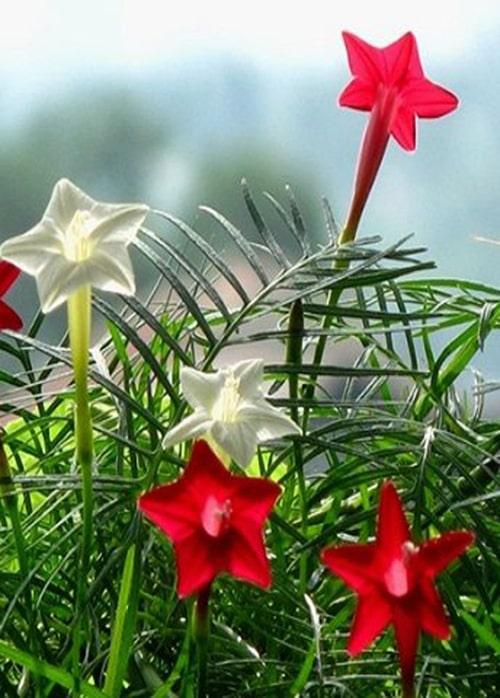 Hoa tóc tiên thường nở vào mùa mưa