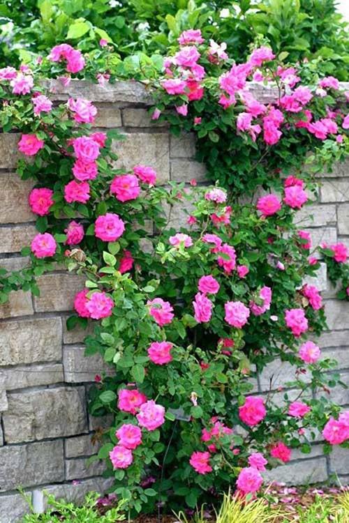 Hoa hồng leo là loại cây thích hợp trồng ở ban công