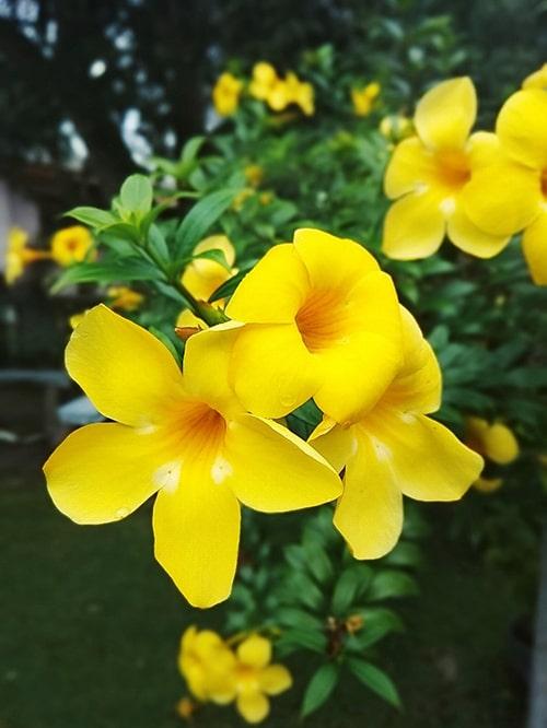 Hoa leo hoàng thảo nở hoa vào mùa thu. mùa đông