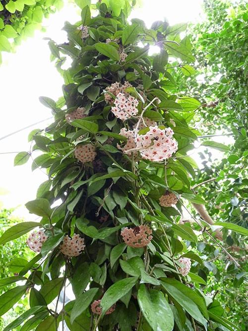 Hoa leo cẩm cù có thể trồng tại ban công chung cư
