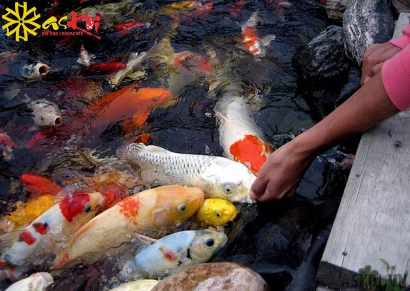 Cần cho cá Koi ăn loại thức ăn phù hợp